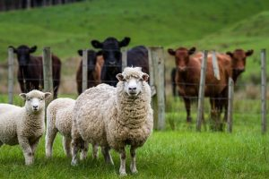 Pastoral Farming In New Zealand